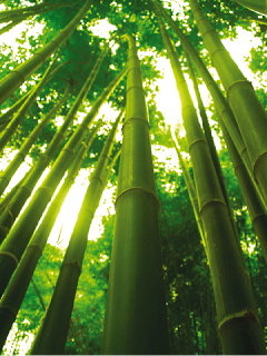 the chinese bamboo tree
